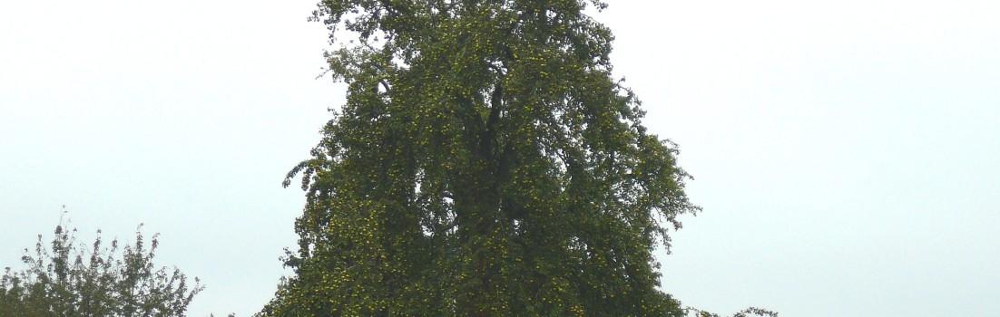Birnen über dem Bodensee