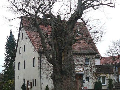 """Die Dorflinde auf dem """"Schnibbo"""" alias Grossviehberg"""
