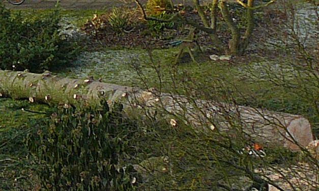 Die Tanne im Nachbargarten