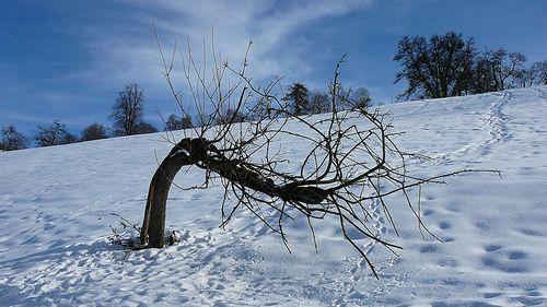 Der krumme Baum Ende Februar 2010