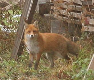 FuchsvergößertWEB