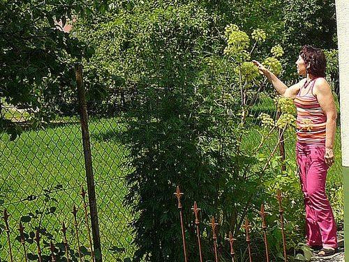 Was soll die Engelwurz im Kräutergarten?