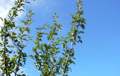 Ein erstes, kleines Äpfelchen am Patenbaum!