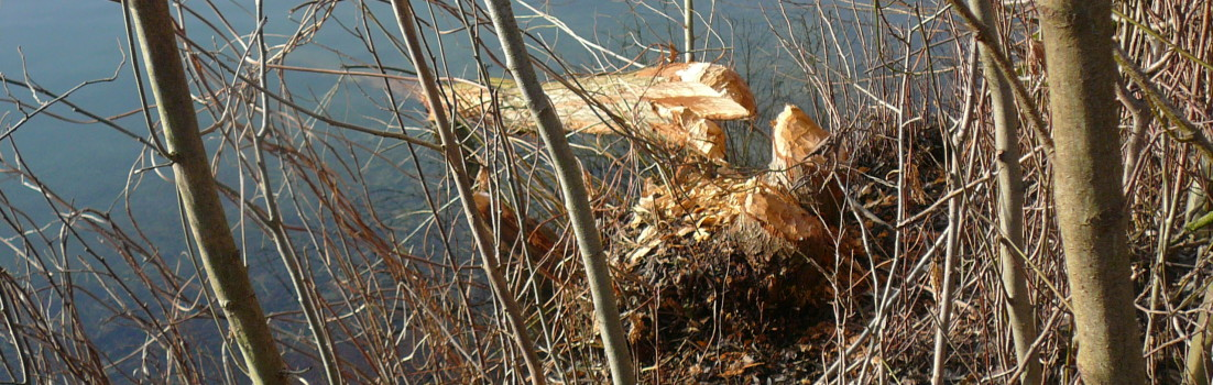 Der Biber am Baggersee