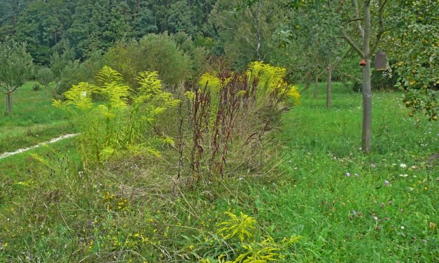 Streuobstwiese Hersbruck: Sie sind da, die ersten Äpfelchen am Sternapfelbaum!